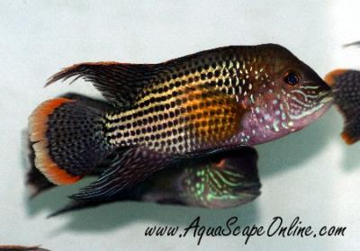 "Green Terror Cichlid 2"" (Wild from Ecuador)"