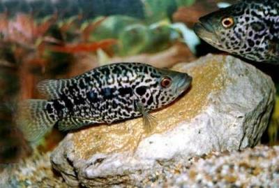 """Jaguar Cichlid 5"""" (Parachromis managuensis)"""
