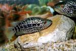 """Jaguar Cichlid 5""""-6"""" (Parachromis managuensis)"""