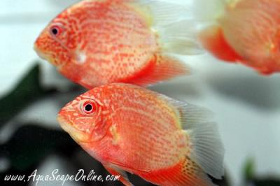 "Super Red Severums 2""-3"" (Heros severus)"