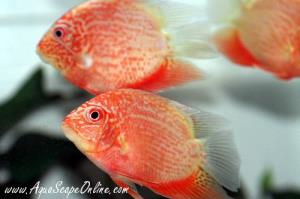 "Super Red Severums 2"" (Heros severus)"