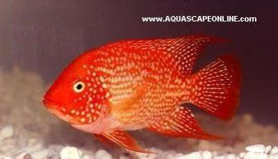 Red Texas Cichlid 9""