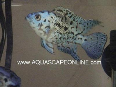 "Electric Blue Jack Dempsey 2"" (Nandopis Octofasciatus)"