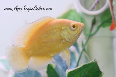 lemon oscar fish - photo #35