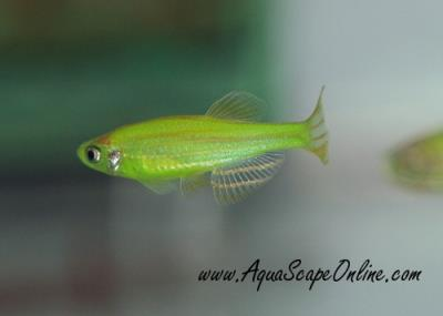Zebra Danio Green Glo-Fish(glow in the dark)