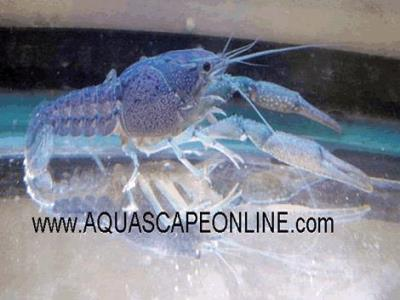 "Blue Lobster 2"" (Procambarus Alleni)"