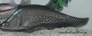 Royal Knifefish 8-10 (Chitala blanci)