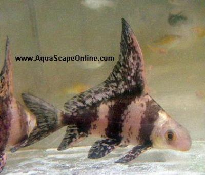 "Chinese Sailfin Shark 3.5""-4"" (Myxocyprinus asiaticus)"
