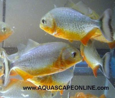 "3""- 3.5"" Super Red Belly (Pygocentrus Nattereri)"