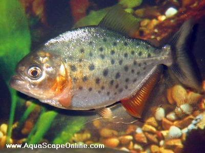 "Red Belly piranha 3"" (Pygocentrus Nattereri)"