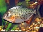 "Red Belly piranha 4""-5"" (Pygocentrus Nattereri)"