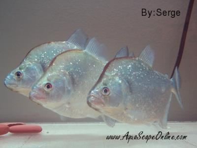 "Violet Line Piranha 4""-5""(Serrasalmus Geryi)"