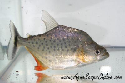 "Marginatus Piranha 3""-4""(Serrasalmus Marginatus)"
