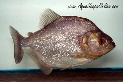 "Black Diamond Piranha 10"" (Serrasalmus Rombeus)"