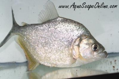 "Gold Diamond Piranha 6.5-7"" (Serrasalmus Rombeus)"