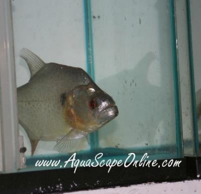 "Black Diamond Piranha Xingu River 6""-7.5"""