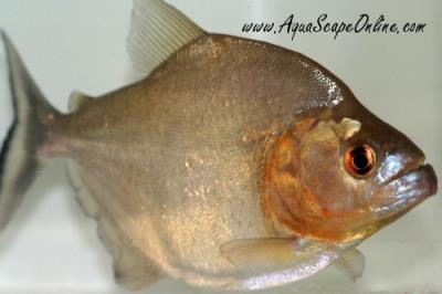 Black Piranha 5 Guyana Serrasalmus Rhombeus Product View