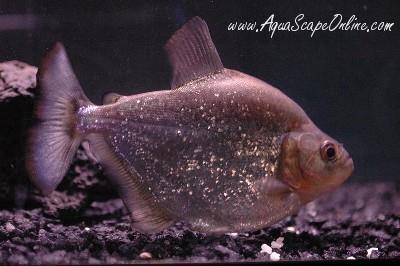 "Altuvei Piranha 3""  (Serrasalmus Altuvei )"