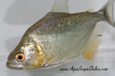 "Gold Diamond Piranha 4""  (Serrasalmus Rhombeus)"