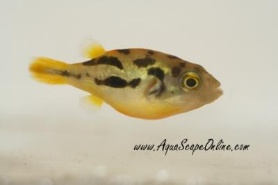Dwarf pea puffer 5 carinotetraodon travancoricus for Dwarf puffer fish for sale