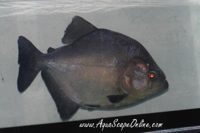 "Black Piranha 10"" Peru (Serrasalmus Rhombeus)"