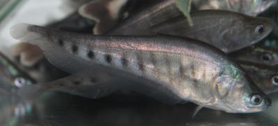 "Clown Knifefish 4-5"" (Chitala blanci)"