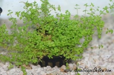 Dwarf Baby Tears Potted(Hemianthus callitrichoide)