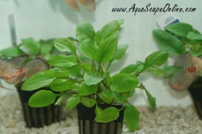 Green Wendtii (Cryptocoryne Wendtii)